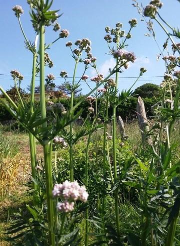 Por qué plantamos valeriana en los huertos de EcoAsturias