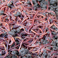 Kit de lombrices rojas de California para vermicompostador